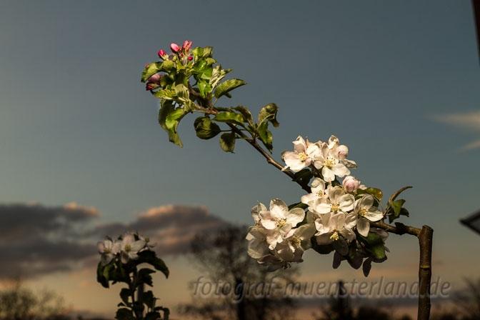 Apfelbaum-Blüten am 1. Mai 2015