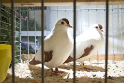 Zwei Tauben in einem Käfig bei der Kleintierschau
