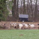 Schafe als Hobby - Norbert Möllers holt Tiere zum Winter in den Stall in Wolbeck