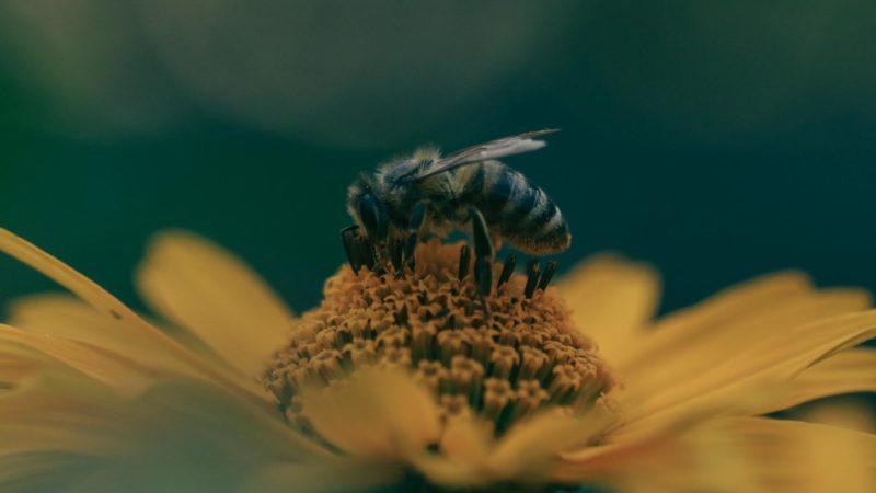 Wildbiene.