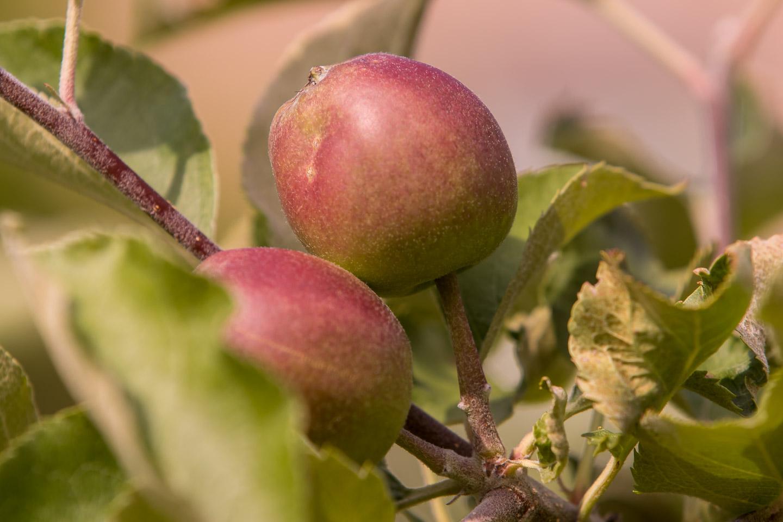 Apfelbaum: Zeit für Pflege für bessere Ernte