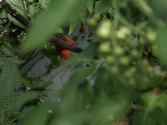 Tomatenpflanzen in einem professionellen Gewächshaus. Foto: A. Hasenkamp.