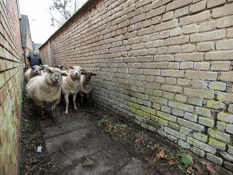 Auf durch die Enge in den Stall mit Stroh und Futter. Foto: A. Hasenkamp.