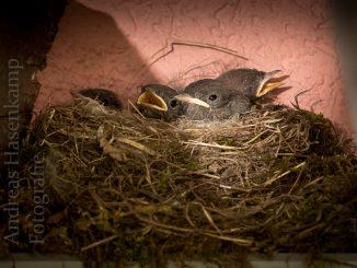 Ein Rotschwanz-Nest?