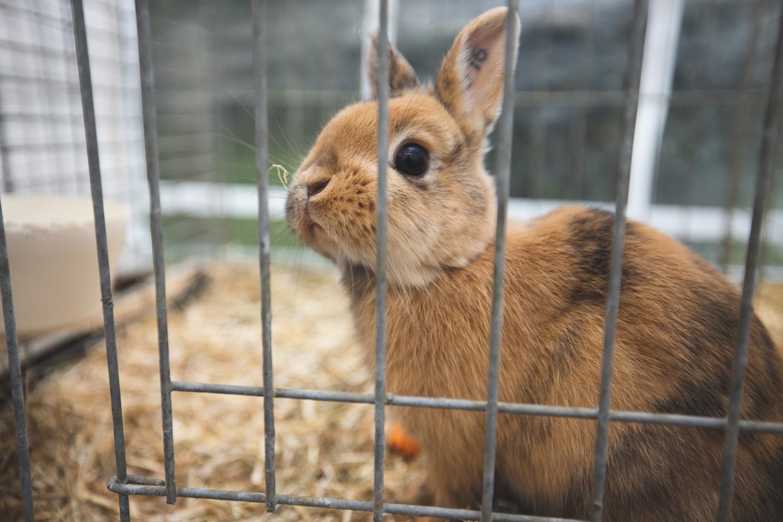 Kaninchen in einem Stall bei der Kleintierschau in Wolbeck. Foto: A. Hasenkamp.