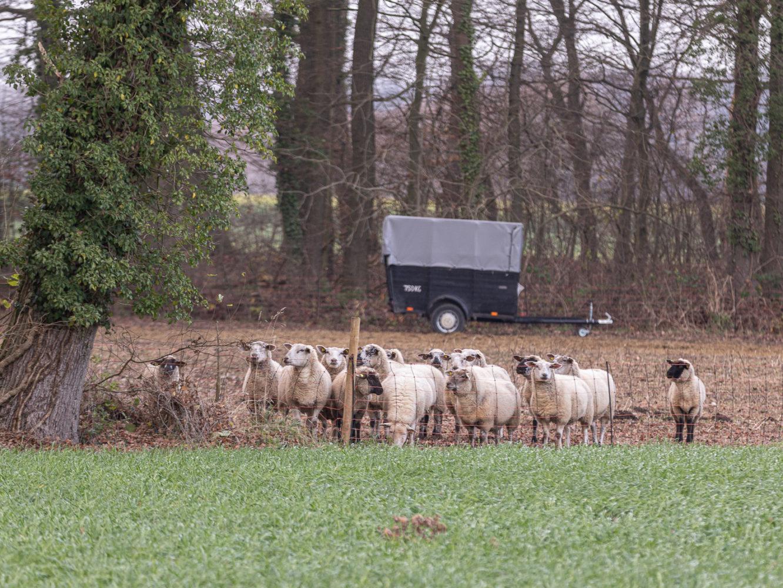 Die Schafherde empfängt Norbert Möllers auf ihrer Weide bei Telgte. Foto: A. Hasenkamp
