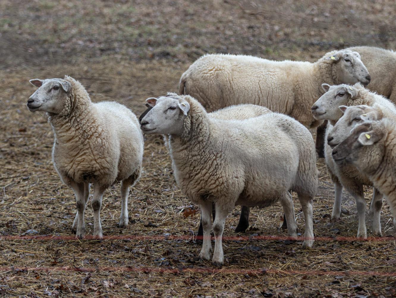 Schafe als Hobby - Norbert Möllers holt Tiere zum Winter in den Stall in Wolbeck 9