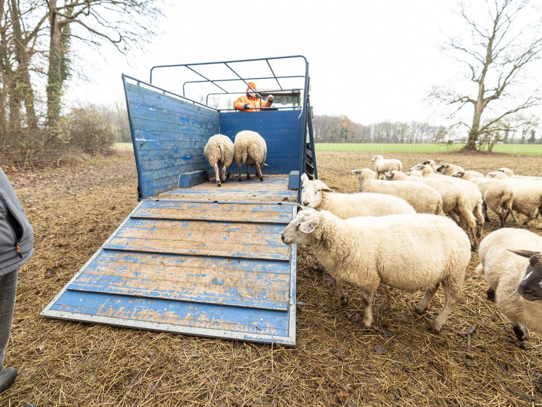 Schafe als Hobby - Norbert Möllers holt Tiere zum Winter in den Stall in Wolbeck 19
