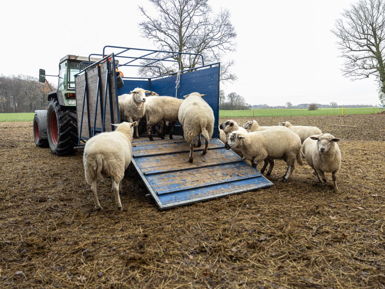 Schafe als Hobby - Norbert Möllers holt Tiere zum Winter in den Stall in Wolbeck 21