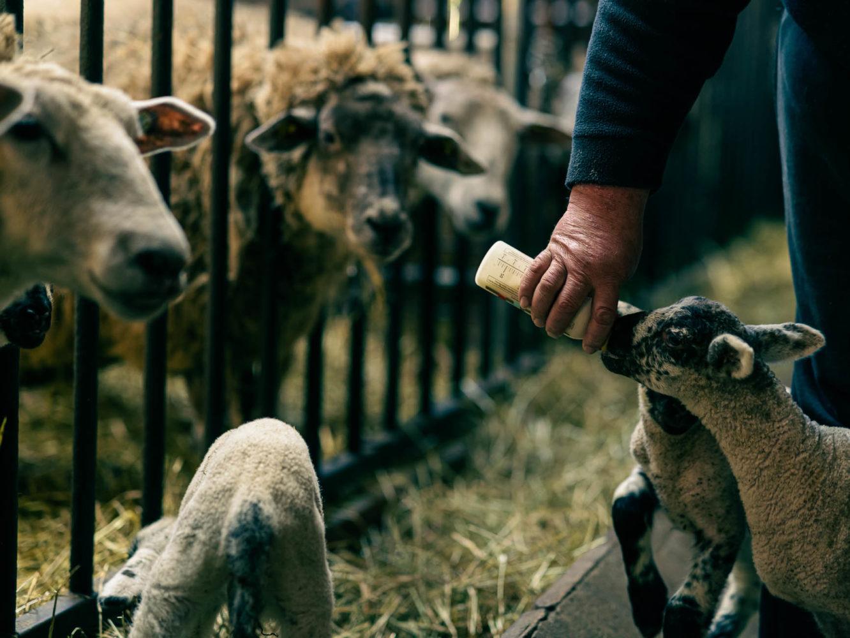 Noch ist der Durst des Lamms gewaltig. Foto: A. Hasenkamp.
